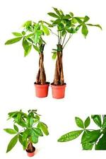Money Tree 5 Plants Braided Into 1 Pachira Tree 3 Pound Pack of 2 House Indoor