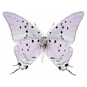 Pseudolycaena damo blue purple hairstreak butterfly Guatemala wings closed
