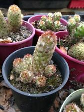"""MAMMILLARIA ELONGATA ssp """"Copperhead"""" Cactus Plant"""
