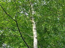 3 Silver Birch 5ft Stunning  Mature Specimen Trees, Betula Pendula in a 2L Pot