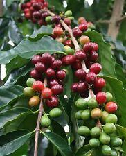 Kaffeebaum 2 Pflanzen schnellwüchsige Zimmerpflanzen bilden Ableger blühend groß
