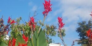10 Red Canna Lily Indica Seeds giant variety up to eight feet tall. Plant now!