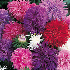 100 Seeds Giant Aster Mixed Colors organic easy to grow +gift
