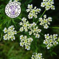 RARE Chaerophyllum bulbosum, root vegetable - 50 seeds -  UK SELLER