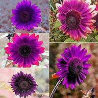 50pcs-Purple Rare Sunflower Mixed Seeds Garden potted Plant A3G1