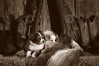 DOG ART PRINT Barn Buddies by Barry Hart Cowboy Boots Puppy Western Poster 13x19