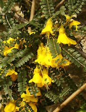 rare flowering shrub Kowhai SOPHORA TETRAPTERA small tree, yellow, hardy to -10C