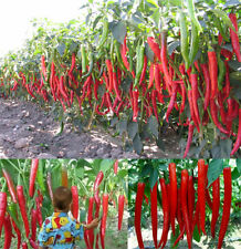 500PC Super Giant Hot Spices Spicy Red Chili Pepper Seeds Plants Garden PT45