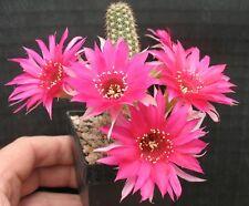 Ferienpreis: Echinopsis Chamaecereus Hybride Magenta Eye