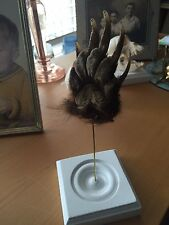 Oddities and Morbid Oddity:  Paws Obscura: A Badger Paw on Display - Vintage