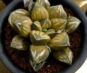 Succulent - Haworthia 'golden ball' offset