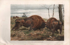 1895 VICTORIAN NATURAL HISTORY PRINT ~ THE EUROPEAN BISON