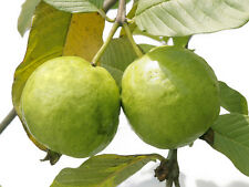 Fruit Tree Seeds - Tropical GUAVA - Psidium guajava Fruit Seed- Pack of 30 Seeds