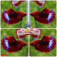 BS171 -Live Betta Fish High Quality Halfmoon Plakat HMPK Red Hellboy Stars