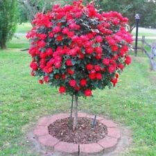 50 Red Rose Tree Seeds,gorgeous bright-colored, DIY Home Garden Potted ,Balcony