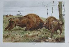 1893 WISENT alter Druck antique print Litho Brehms Tierleben