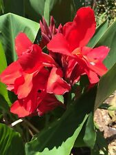 canna lily seeds scarlet stunning