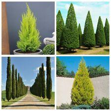 100Pc Golden Cypress Seeds Plants Trees Cupressus Evergreen Nature Garden Beauty