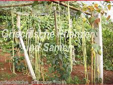 meter-bohne 15 graines long de un YARD 3 pieds plus 1 metres HARICOTS SANS FIL