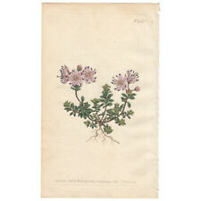 Curtis Botanical Magazine antique 1800 hand-color engraving Pl 488 Rhododendron