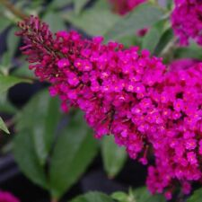 BUDDLEIA DAVIDII - BUTTERFLY BUSH - ROYAL RED - 1 LIVE PLANT - QUART  POT