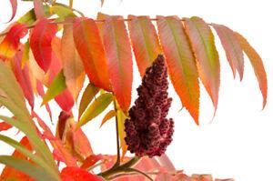 Essigbaum eine tolle Zierpflanze für den Herbst schöne bunte Blätter und Früchte
