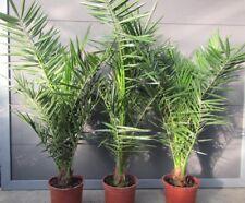 Phoenix canariensis - Kanarische Dattelpalme - Pflanzen 100-120cm bis -5°C Frost