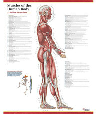 Trail Guide to the Body - Muscles of the Human Body Poster - Lateral
