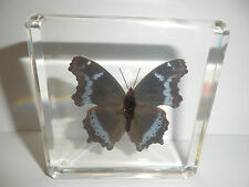 Blue Admiral Butterfly Kaniska canace Clear Block Education Insect Specimen DBTN