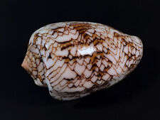 Conus, Cylinder  textile, Tulear, Madagascar, 73,9 mm, EXTREMELY FAT