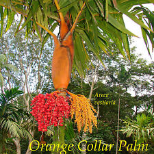 ~Orange Collar Palm~ Colorful Palm Tree Areca vestiaria Sml 6-12+in Potd Plant