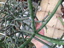 Rhipsalis pilocarpa rare epiphyllum hanging mouse tail cacti aloe 4 inch cutting