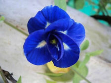 NEW!! 50 BLUE BUTTERFLY PEA SEEDS CLITORIA TERNATEA VINE FLOWER THAILAND