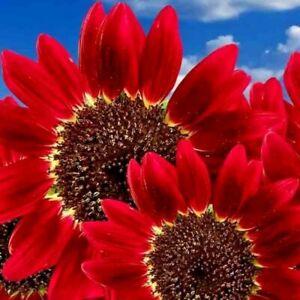RED SUN RARE SUNFLOWER 20 SEEDS FLOWERS BEAUTIFUL TALL CUT NON-GMO HEIRLOOM USA