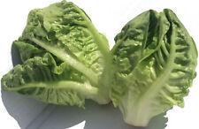 1000 Graines de Mini Laitue Petite Romaine  / Savoureuse / Légumes Salades