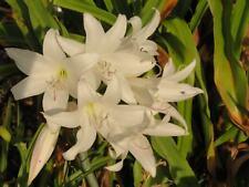 Crinum Lily, Circa Alba, small-size bulb, NEW, very rare