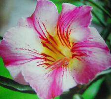 Adenium Obesum Desert Rose - CX Deeva - Perennial Bonsai Seeds (5)