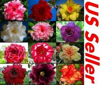10 PC Desert Rose Seeds Mixed Colors B99, Beautiful Rare Flower Seeds