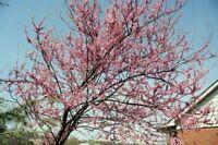 redbud, EASTERN REDBUD tree, pink flowers, 39 seeds! GroCo