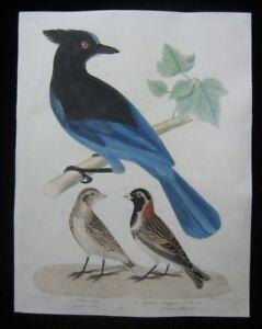 1825 Original Wilson Bonarpate Bird Print of Steller's Jay Lapland Longspur PL13