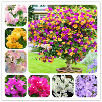 Bougainvillea Bonsai Spectabilis Willd Perennial Flowers Garden 100 Pcs Seeds X