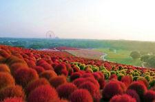 300 Graines Kochia Scoparia Burning Bush Grass Summer Cypress Hardy plant seeds