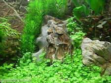 2 belles portions d Hydrocotyle tripartita  plante aquarium  nano bac crevette