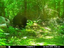 maine guided black bear hunt
