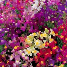 Mixed Snapdragon Seeds, Northern Lights, Toadflax, Bulk Seeds, Heirloom, 500ct