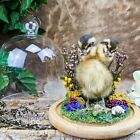 D5c Taxidermy Oddities Curiosities Gaff 2 Two Headed Duck Duckling Glass Dome