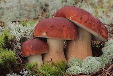 30 g PINE WOOD KING BOLETE Cep Porcini Boletus Mushroom Spawn Seeds Mycelium