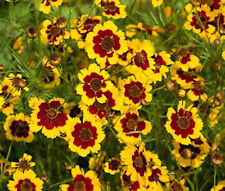 COREOPSIS PLAINS Coreopsis Tinctoria - 1,000 Seeds