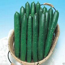25 Early Spring Burpless Cucumber Seeds,A good choice for the space-saving