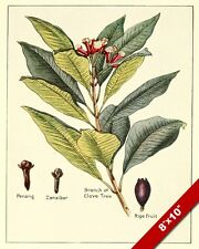 CLOVE SPICE KITCHEN SPICES DRAWINGOIL PAINTING ART POSTER PRINT ON REAL CANVAS